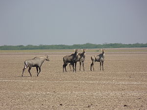 Indian Wild Ass Sanctuary - Image: Nilgai group at Little Rann of kutch