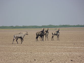Rann of Kutch - Nilgai group at the Little Rann of Kutch