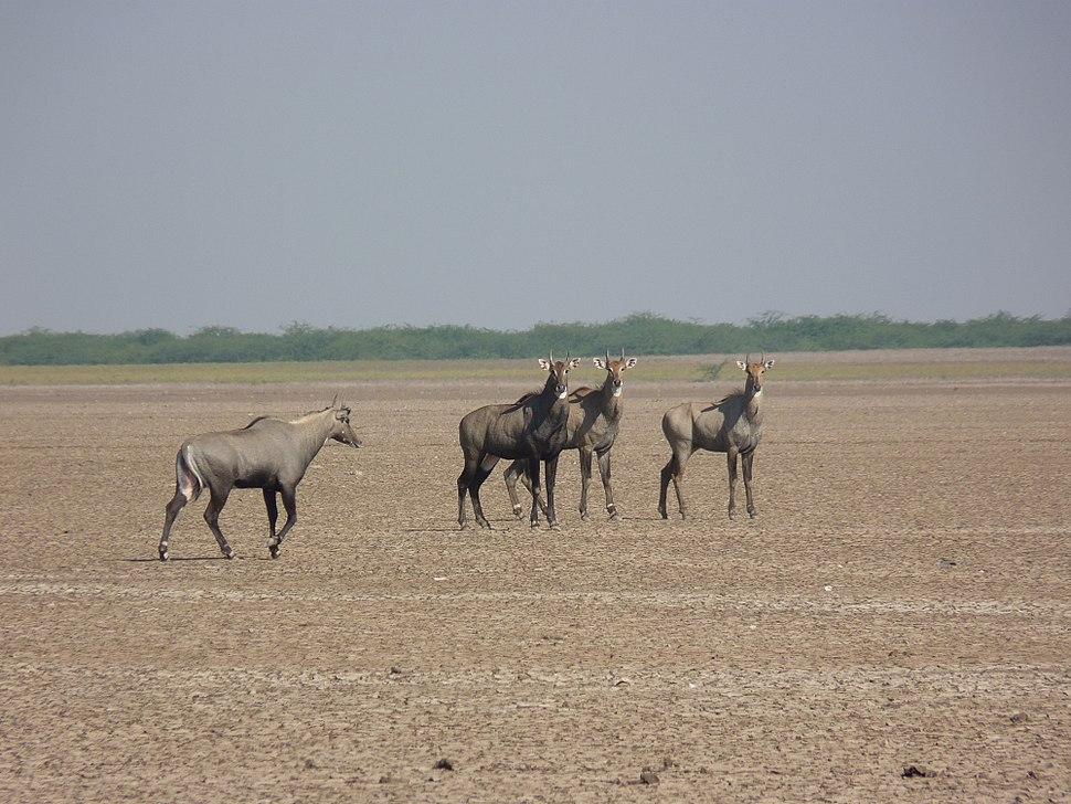 Nilgai group at Little Rann of kutch