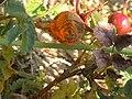 Noordwijk - Gladde roosroest (Phragmidium rosae-pimpinellifoliae).jpg