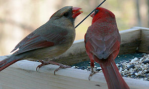 Northern cardinal - The male often feeds the female as part of their courtship behavior.