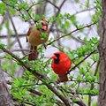 Northern Cardinals (5624155474).jpg