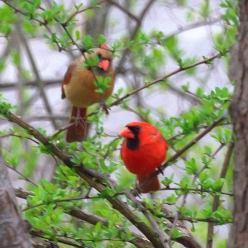 Northern Cardinals (5624155474)