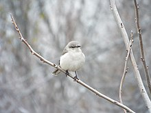 Adult Mockingbirds Have Solid Pale Grey Or Buff Breasts Juveniles Mottled