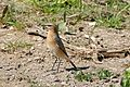 Northern Wheatear (Oenanthe oenanthe) female (26553633655).jpg