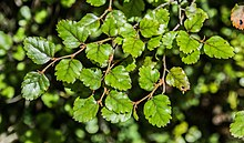 Nothofagus fusca in Fiordland National Park 02.jpg