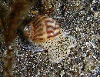 Naticidae - Notocochlis gualteriana
