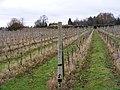 November Vines - geograph.org.uk - 1599723.jpg