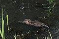 Nutria Myocastor coypus 9282.jpg
