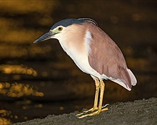 Nycticorax caledonicus - Sydney Olympic Park.jpg