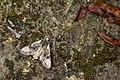 Nyctycia strigidisca nigridorsi (24411683582).jpg