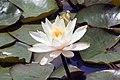 Nymphaea Inner Light 3zz.jpg