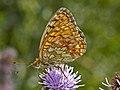 Nymphalidae - Brenthis ino-001.jpg