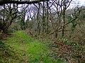 Oaks and daffodils - geograph.org.uk - 1246186.jpg