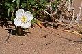 Oenothera deltoides.jpg