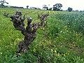 Old Grenache Vines.jpg