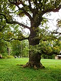 Old oak near Ungurmuiža manor - panoramio.jpg