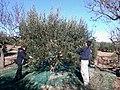 Olive Harvest in Catalonia 23-11-2013.jpg