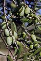 Olives (DAHBIA) CL3. J Weber (4) (23184195021).jpg