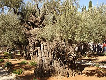 Sacred grove wikipedia for Age olive trees garden gethsemane