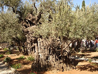 Sacred grove - Olive trees can attain impressive age, as here at Gethsemane