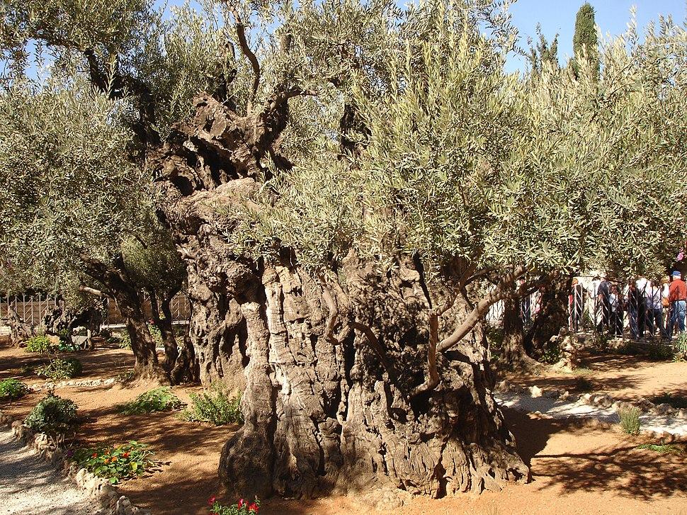 Olives of Gethsemane