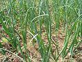 Onion-Field 13082-480x360 (4811468266).jpg