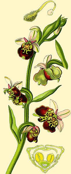 File:Ophrys Flv.Deutsch.jpg