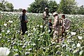 Opium poppies in Helmand -a.jpg