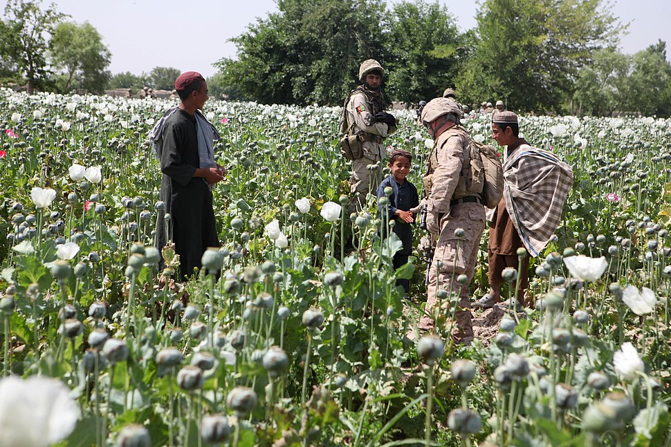 Opium poppies in Helmand -a