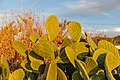 Opuntia ficus-indica in Ayia Marina Chrysochous, Cyprus 03.jpg