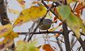 Orange-crowned Warbler (10029170196).jpg