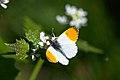 Orangetip (33751431453).jpg