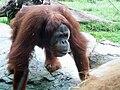 Orangutansandiego.jpg
