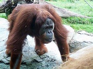 Wikichicos/Los monos/El orangután - Wikilibros