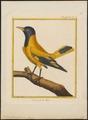 Oriolus melanocephalus - 1700-1880 - Print - Iconographia Zoologica - Special Collections University of Amsterdam - UBA01 IZ16400205.tif