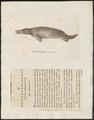 Ornithorhynchus paradoxus - 1700-1880 - Print - Iconographia Zoologica - Special Collections University of Amsterdam - UBA01 IZ20300182.tif
