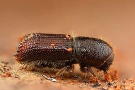 Orthotomicus laricis (32330826995).jpg