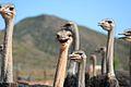 Ostrich Farm (6649539209).jpg