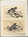 Otaria ursina - 1700-1880 - Print - Iconographia Zoologica - Special Collections University of Amsterdam - UBA01 IZ21100065.tif