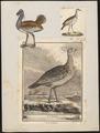 Otis tarda - 1700-1880 - Print - Iconographia Zoologica - Special Collections University of Amsterdam - UBA01 IZ17200005.tif
