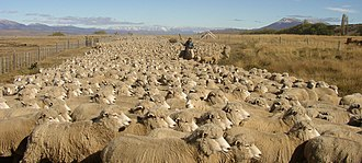 Gregge di pecore in Patagonia, Argentina
