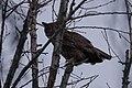 Owl (40451213553).jpg