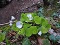 Oxalis acetosella Rio Carpine 02.jpg