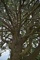 Pëc de Poz Urtijëi Picea abies dedite.jpg