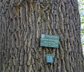 P1240704 Paris V jardin des Plantes Quercus macrocarpa rwk.jpg