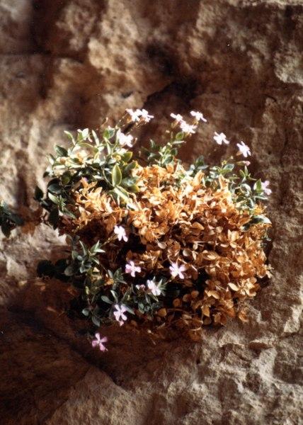 File:PETROCOPTIS pyrenaica (Caryphyllacées) Lychnis des Pyrénées.tif