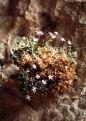 PETROCOPTIS pyrenaica (Caryphyllacées) Lychnis des Pyrénées.tif