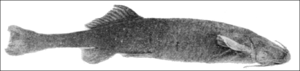 PSM V68 D522 Hatcheria a mountain catfish.png