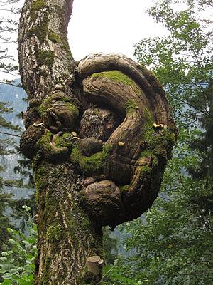 Palfauer Wasserlochklamm Ohrwaschlbaum 2012-08 Naturdenkmal 975.jpg